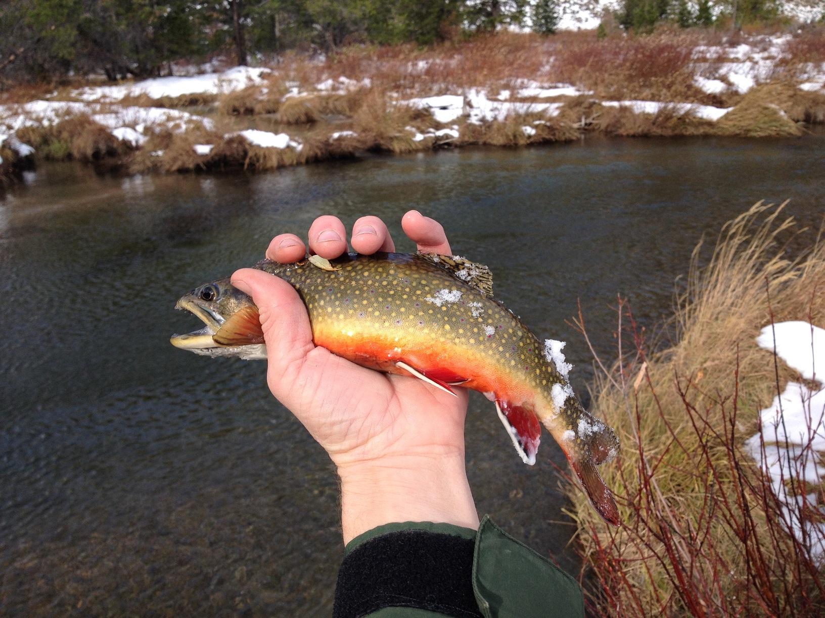 Fishing brook trout on west rosebud creek scott sery for Trout fishing spots near me