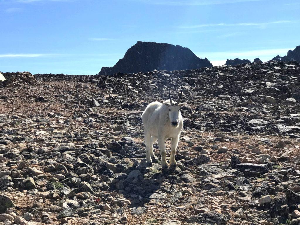 mountain goat granite peak